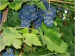 vineyard%20(14)